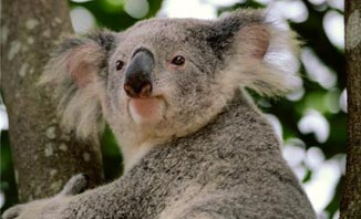 See the Koalas for a free outing in Brisbane